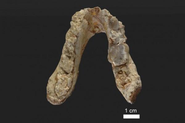 Rahang bawah berusia 7,175 juta tahun milik Graecopithecus freybergi (El Graeco) dari Pyrgos Vassilissis, Yunani. - Reuters