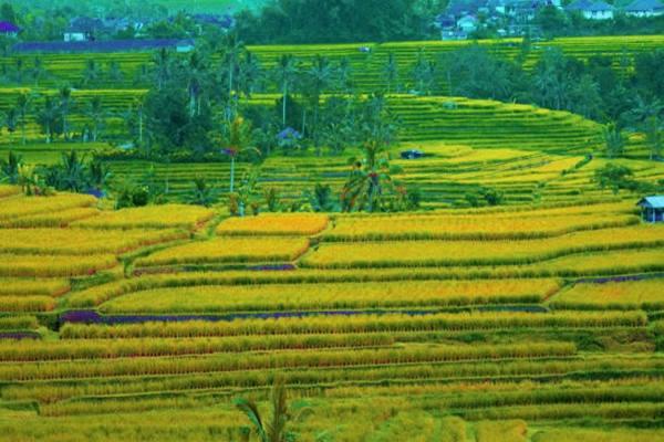 Desa Jatiluwih, Tabanan, Bali menjad tempat wisata yang dikunjungi mantan Presiden AS Barack Obama dan keluarganya saat berlibur ke Bali. - Istimewa
