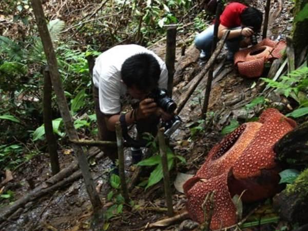Dua warga memotret bunga Rafflesia (Rafflesia Arnoldii) yang sedang mekar di Hutan Lindung Bukit Daun Register V Kabupaten Kepahiang, Bengkulu, Minggu (1/4/2014). - Antara/Helti Marini S