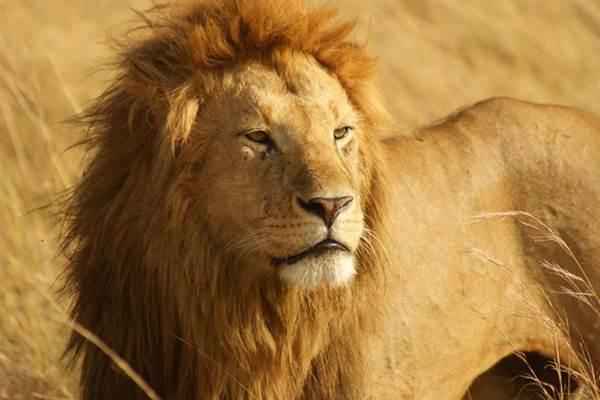 Singa dari Afrika - conservationcubclub.com
