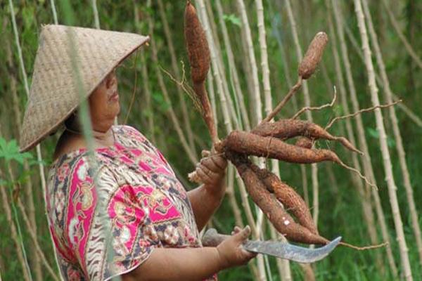 Tanaman Singkong 3 500 Ha Lahan Di Bali Jadi Perkebunan