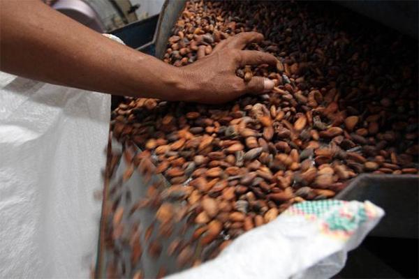 Biji kakao - JIBI