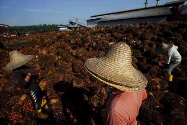 Ilustrasi kelapa sawit - Reuters/Samsul Said