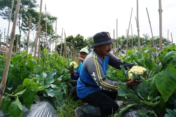Petani Kembang Kol Bantul Untung Besar