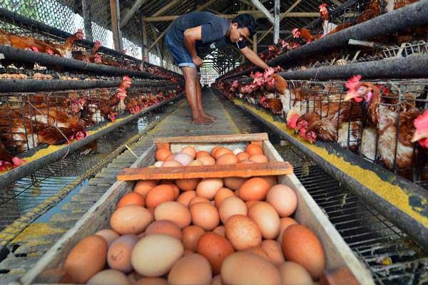 Pekerja mengambil telur di kandang ayam di Cipedes, Kota Tasikmalaya, Jawa Barat, Senin (25/9). - ANTARA/Adeng Bustomi