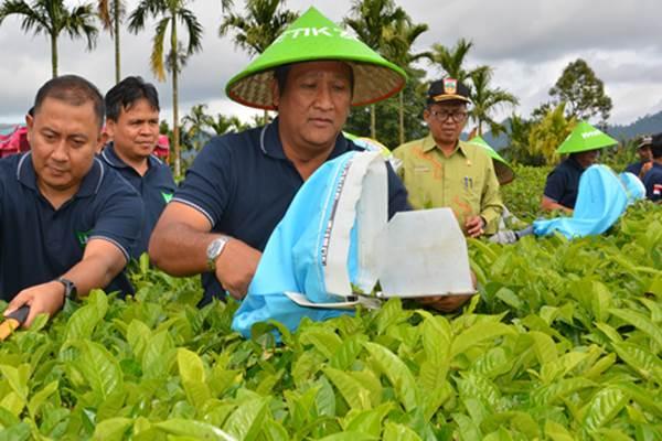 Direktur Utama PT RNI B. Didik Prasetyo  (kanan) dan Direktur PT Mitra Kerinci Yosdian Adi (kiri) memetik teh pada pembukaan Wiwitan Petik Teh, di Solok Selatan, Kamis (4/1/2018) . Produksi teh PT Mitra Kerinci, anak perusahaan PT Rajawali Nusantara Indonesia (Persero) atau RNI, yang bergerak di sektor perkebunan, mencapai 3.900 ton pada 2017 - Istimewa