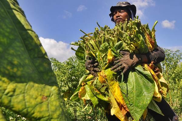 Petani memanen daun tembakau di persawahan desa Mandisari, Parakan, Temanggung, Jawa Tengah, Rabu (24/8). - Antara/Anis Efizudin
