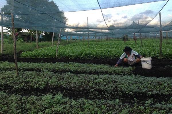 Ilustrasi petani sayur - Bisnis.com/Yanuarius Viodeogo