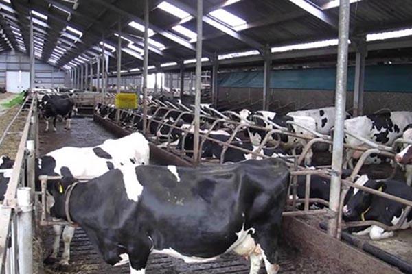 Peternakan sapi perah di Belanda - Youtube