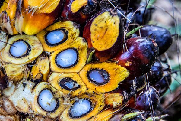 Ilustrasi - Kelapa sawit. - Bloomberg/Taylor Weidman