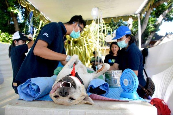 Pemkot Denpasar melakukan sterilisasi dan kastrasi terhadap anjing. - Bisnis/Feri Kristianto