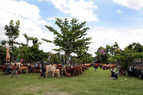 Pameran anak sapi hasil inseminasi buatan. - JIBI/Desi Suryanto