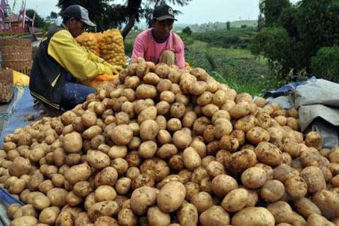 Ilustrasi: Hasil panen kentang petani