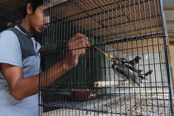 Kios Penangkaran Burung Jalak Di Klaten Diserbu Pemudik