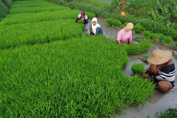 Petani menyiapkan bibit padi di persawahan Desa Tanjung, Pademawu, Pamekasan, Madura, Kamis (27/4). - Antara/Saiful Bahri