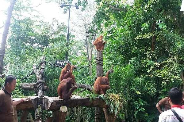 Aksi sekelompok Orang Utan di Singapore Zoo - Jibi/bambang supriyanto