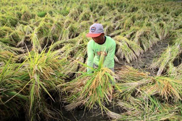 Petani memanen padi di persawahan Alas Malang, Banyuwangi, Jawa Timur, Rabu (17/1/2018). - Antara/Budi Candra Setya