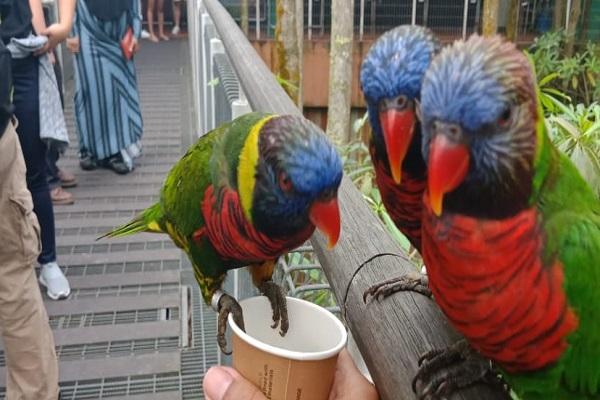 Berteman dengan burung Lory yang jinak - Jibi