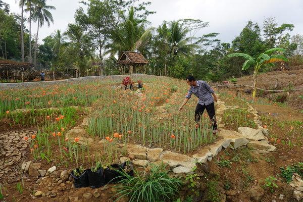 Sukadi menunjukkan tanaman Amarilis yang mulai tumbuh di kebunnya di Desa Salam, Kecamatan Patuk, Jumat (31/8). - JIBI/Herlambang Jati Kusumo