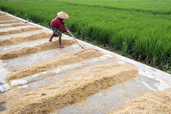 Petani menjemur gabah di tempat pengeringan gabah, di Karanganyar, Jawa Tengah. - ANTARA/Mohammad Ayudha