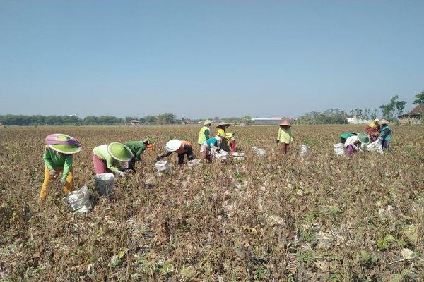 Petani memanen kacang hijau di Madiun. - JIBI