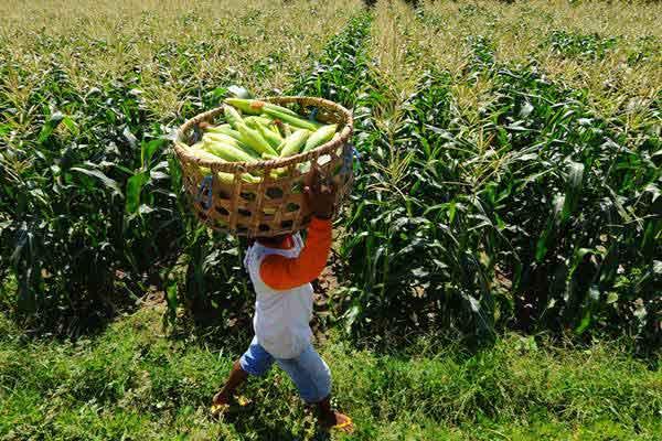 Buruh tani memanen jagung manis di lahan pertanian jagung Kadireso, Teras, Boyolali, Jawa Tengah, Senin (31/7). - ANTARA/Aloysius Jarot Nugroho