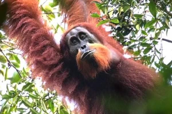 Orangutan Tapanuli - bbc.com