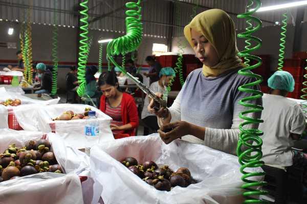 Sejumlah karyawan packing house di Denpasar, Bali melakukan pembersihan manggis dari kutu putih dan semut sebelum diekspor ke China, Selasa (20/11/2018). Volume ekspor manggis ke China meningkat hingga 60% menjadi 80 ton per hari dari sebelumnya yang sebesar 50 ton per hari lantaran telah memasuki musim panen raya. (Wirat Eka - Bisnis).