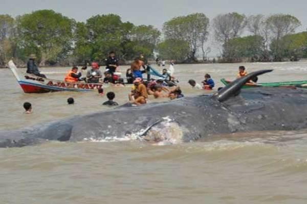 Ilustrasi-Ikan paus terdampar - Antara