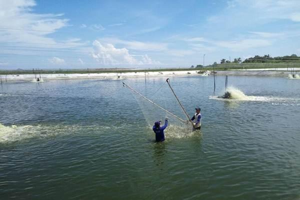 Perum Perindo saat panen ikan di Bengkayang. - perumperindo.co.id