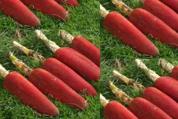 Buah merah khas Papu. Foto: pegbintangkab.go.id