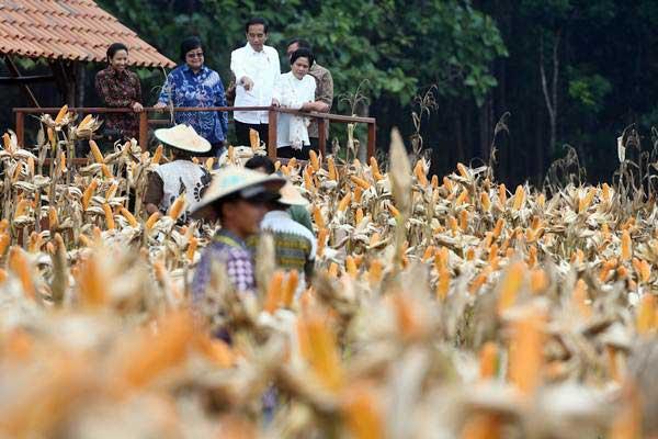 Presiden Joko Widodo (tengah) didampingi Ibu Negara Iriana Joko Widodo (kanan), Menteri BUMN Rini Soemarno (kiri) dan Menteri Lingkungan Hidup dan Kehutanan Siti Nurbaya Bakar (kedua kiri) memperhatikan petani memanen jagung saat panen raya jagung di Perhutanan Sosial, Ngimbang, Tuban, Jawa Timur, Jumat (9/3/2018). - ANTARA/Zabur Karuru