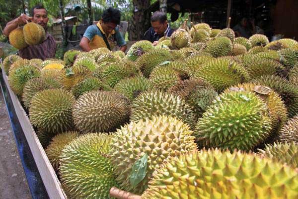 Pedagang musiman menata buah durian ke dalam mobil angkutan saat musim panen di Desa Gunong Panah, Bubon, Aceh Barat, Aceh. - Antara/Syifa Yulinnas