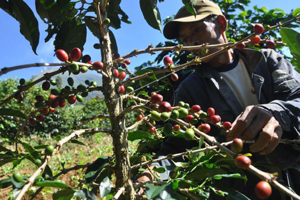 Petani merawat tanaman kopi. - Antara/Anis Efizudin