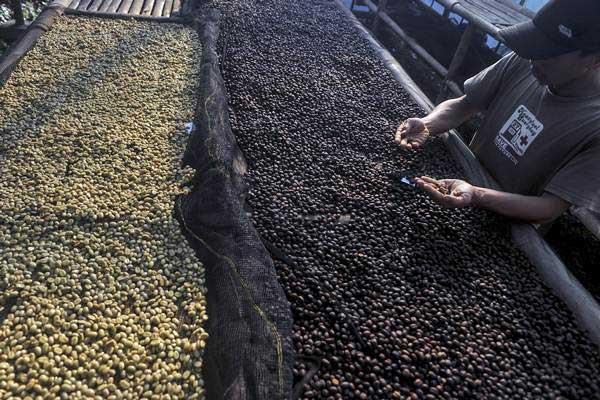 Ilustrasi: Petani mengolah biji kopi. - Antara/Novrian Arbi
