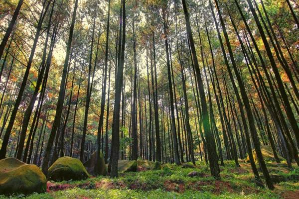 Ilustrasi hutan pinus di Kabupaten Dlingo, Yogyakarta. - Istimewa