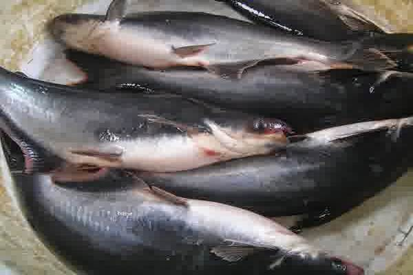 Ikan patin - Istimewa
