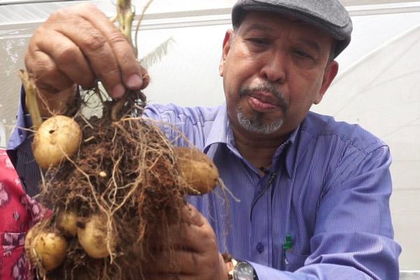 Syarif menunjukkan kentang dengan menggunakan bibit dengan teknologi kultur in vitro. - Istimewa