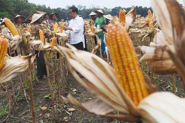 Presiden Joko Widodo memanen jagung bersama petani saat panen raya jagung di Perhutanan Sosial, Ngimbang, Tuban, Jawa Timur, Jumat (9/3/2018). - ANTARA/Zabur Karuru