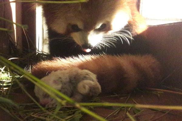 Induk panda merah memperhatikan bayinya yang baru lahir di Taman Safari Indonesia di Cisaruam Kabupaten Bogor, Jawa Barat. - Twitter@SitiNurbayaLHK