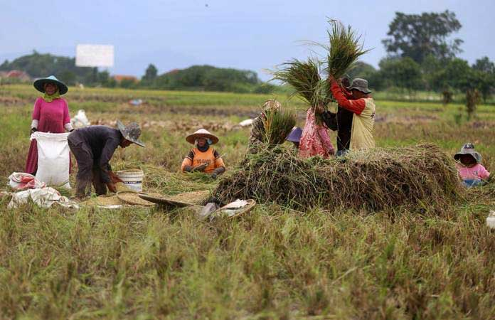 Petani memanen padi di areal persawahan kawasan Soreang, Kabupaten Bandung, Jawa Barat, Selasa (22/1/2019). - Bisnis/Rachman
