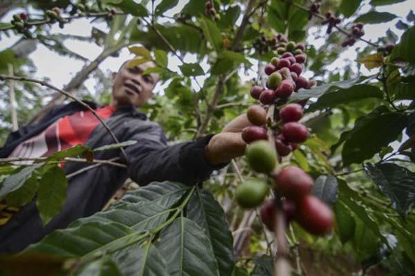 Petani memeriksa tanaman kopi. - Antara/Raisan Al Farisi