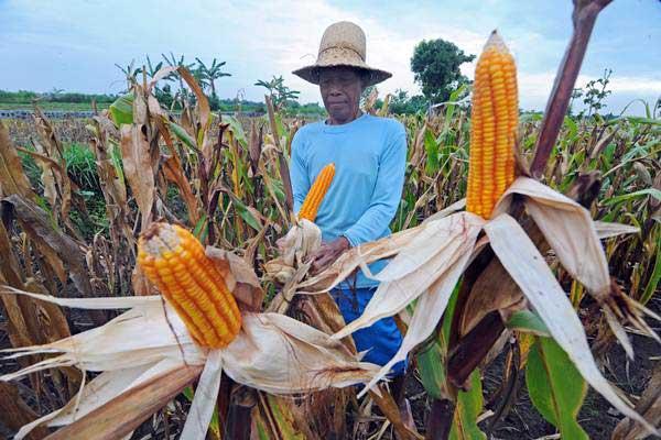 Petani mengupas kulit jagung menjelang panen di Desa Polagan, Pamekasan, Madura, Jawa Timur, Kamis (3/1/2019). - ANTARA/Saiful Bahri