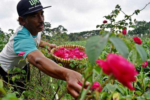 Petani memanen bunga mawar di salah satu perkebunan di Bandungan, Kabupaten Semarang, Jawa Tengah, Rabu (10/1). - ANTARA/Aditya Pradana Putra