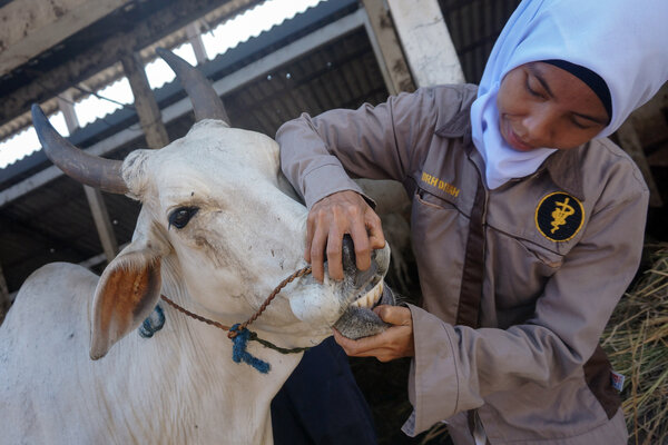 Petugas mengecek hewan sapi di Rumah Pemotongan Hewan (RPH) Dinas Peternakan dan Pangan, Pekalongan, Jawa Tengah, Selasa (8/1/2019). Kementerian Pertanian memproyeksikan produksi daging sapi dalam negeri pada 2019 sebesar 429.412 ton dengan kebutuhan daging pada 2019 sebesar 686.270 ton. - Antara/Harviyan Perdana Putra