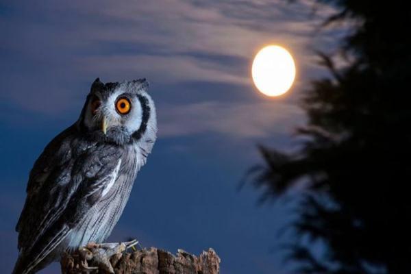 Burung hantu - Istimewa