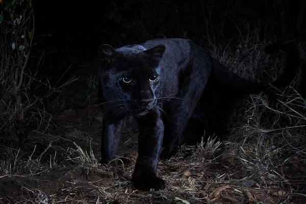 Penampakan macan tutul hitam di Kenya, benua Afrika setelah 100 tahun - Konservasi Loisaba/Will Burrard/Lucas