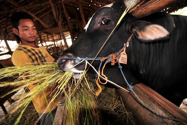 Peternak memberi pakan sapi potong miliknya di Desa Curug, Kabupaten Tegal, Jawa Tengah, Senin (10/8) - Antara