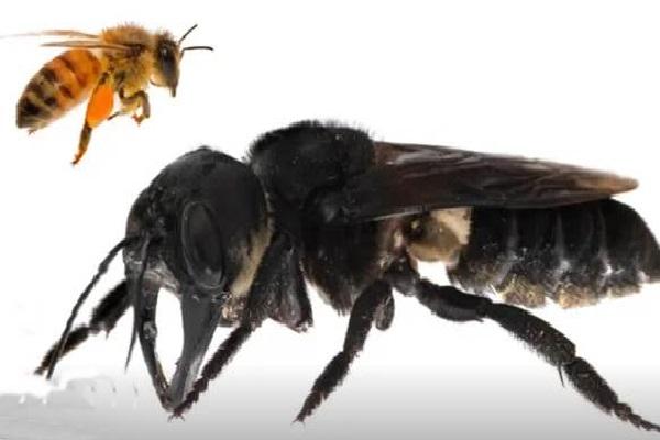 Perbandingan lebah normal dengan lebah raksasa seperti ditampilkan theguardian.com