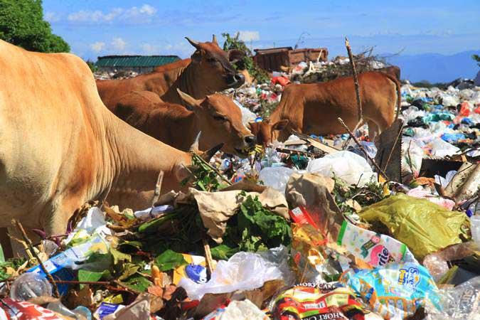 Sapi makan sampah di Tempat Pembuangan Akhir (TPA). - Antara/Syifa Yulinnas